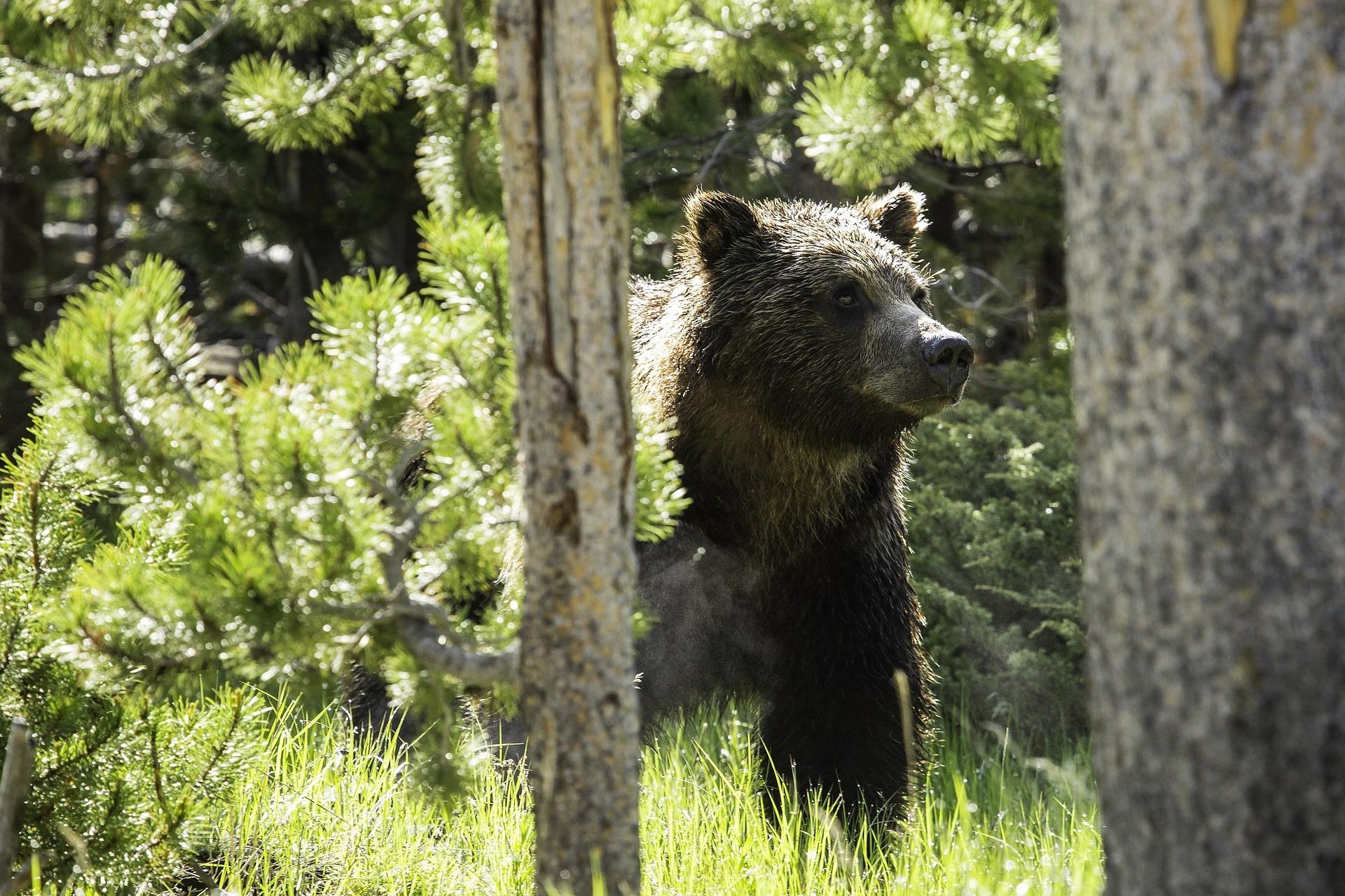 https://ewacetera.pl/wp-content/uploads/2017/08/grizzly-bear-1058750_1920.jpg